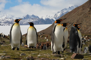 King penguins, Fortuna Bay, South Georgia