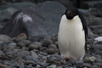 Adelie Penguin, Henryk Arctowski Polish Antarctic Station