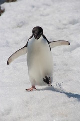 Adelie Penguin, Argentine Islands, Antarctica