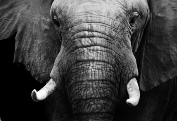 African elephant in black and white