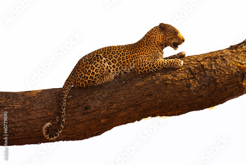 In de dag Luipaard Leopard resting in a tree