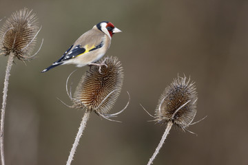Goldfinch, Carduelis carduelis,