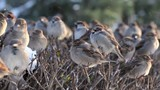 Flock of disheveled sparrows, perching on shaven snowy bush