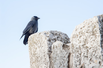 Cute black jackdaw on a wall