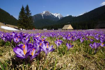 Crocuses in Chocholowska valley, Tatra Mountain, Poland
