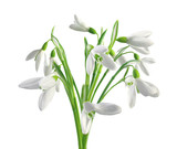 Spring snowdrops isolated on white