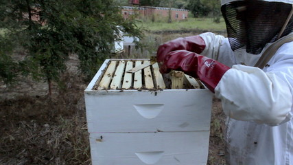 Beekeeper harvesting honey laden frames from a beehive.