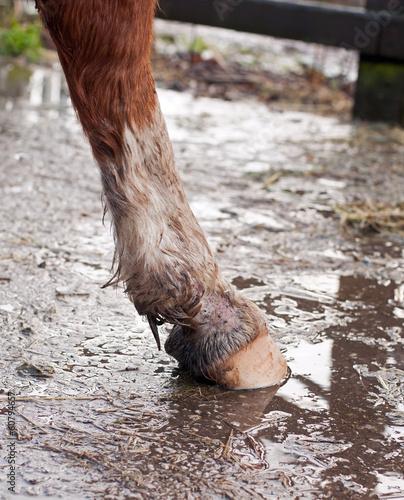 Fotobehang Paardrijden Mud fever