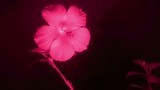 Flower in infrared light: Blooming red Hibiscus flower, FULL HD.