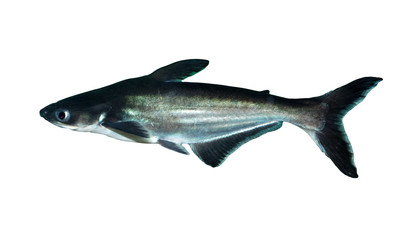 shark fish on white background
