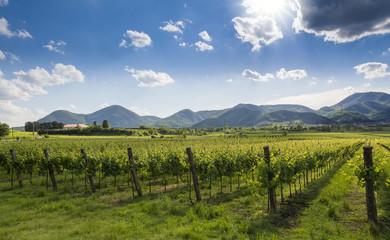 Coltivazione delle vigne in Sud Tirolo
