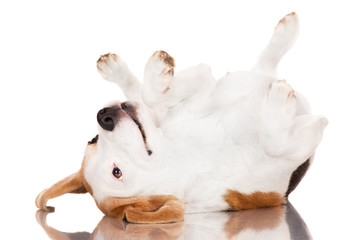 funny beagle dog rolling upside down