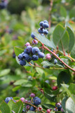 Blue berries on the plant