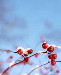 Rosehips in winter