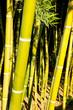 Leinwanddruck Bild - Bamboo cane field with selective focus
