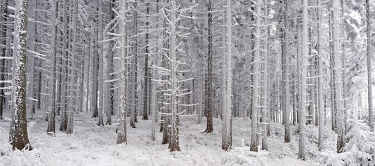Winter spuce forest