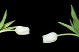 Two white tulips placed toward each other.