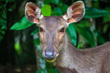 Deer at Khao Yai National Park, Thailand