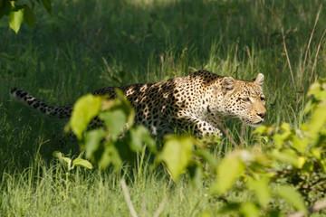 Leopard im Beutesprung