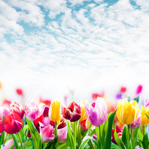 Field of colourful tulips under a beautiful sky