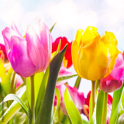 Closeup of two vibrant fresh tulips outdoors