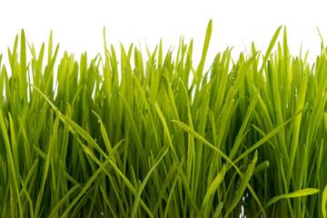 Gras mit Wassertropfen