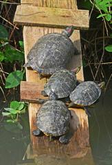 tartarughe acquatiche sotto il sole