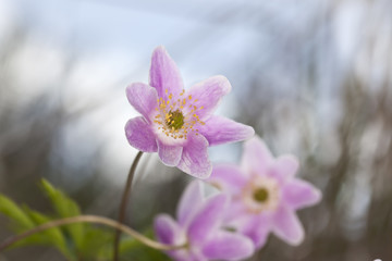 Beautiful Wood anemone (Anemone nemorosa)
