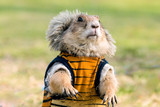 Wearing cloth prairie dog