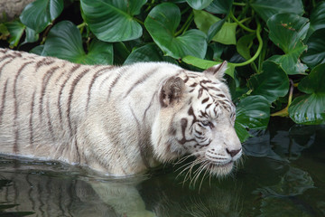 Rare White Tiger Swimming