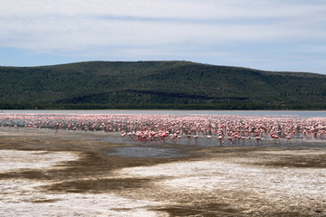 Flamingos in Africa
