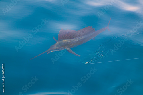 Sailfish sportfishing close to the boat with fishing line