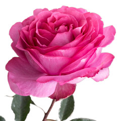 isolated pink rose on white background