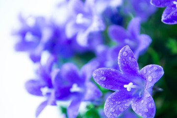 Abstract spring background with purple flowers  campanula or bel