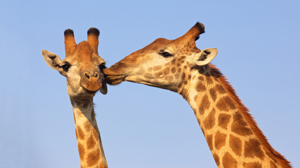 Kissing Giraffes