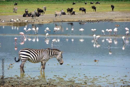 Foto op Canvas Zebra Ngorongoro