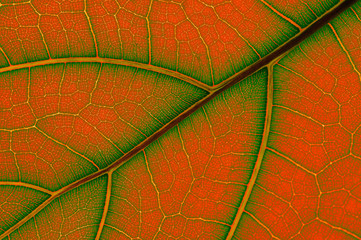 colored leaf of Ficus Lyrata