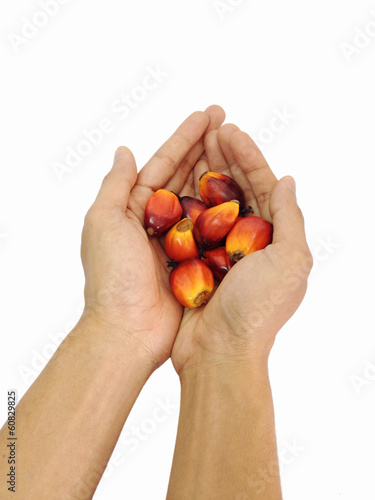 oil palm fruit on hand