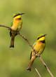 Two Little Bee-Eaters (Merops pusillus) on a branch