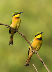 Two Little Bee-Eaters (Merops pusillus) on a branch