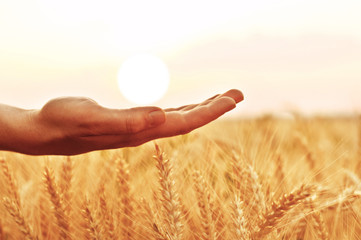 Hand holding the sun at wheat field sunset