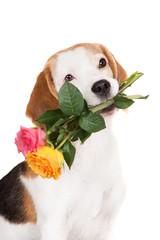 beagle dog portrait with roses