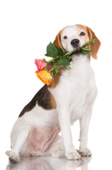 beautiful dog holding roses