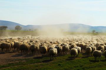 koyun sürüsü&hayvancılık