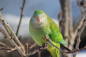 Schildsittich (superb parrot)