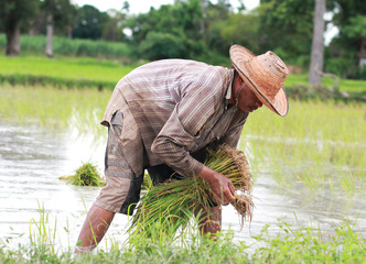 asian male rice farmer is planting rice in the farm.