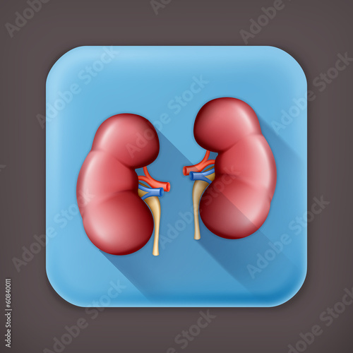 Human kidney, long shadow vector icon