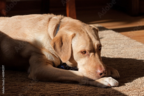 labrador dog in sunlight
