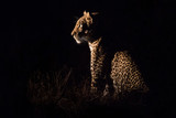 Leopard sitting in darkness hunting prey