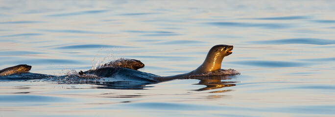 Seals swim  on sunset.